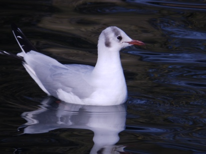 Black Headed Gull - Arnot Hill Park, Arnold