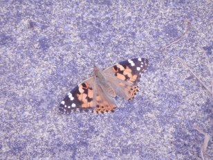 Painted Lady warming itself on a paving slab