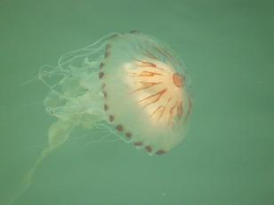 Jellyfish at Bangor