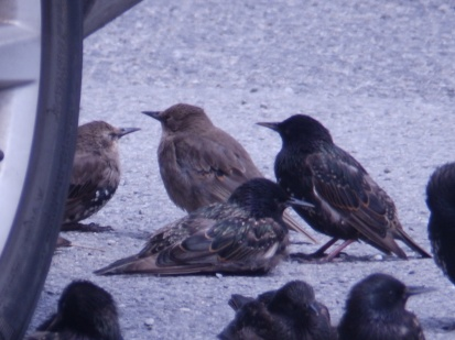 Starlings at Cosby