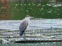 Heron Arnot Hill Park Arnold