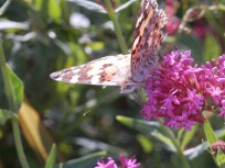Painted Lady - red valerian