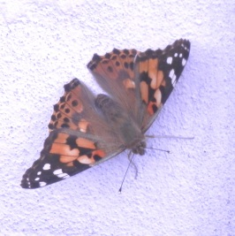 Painted Lady Nottingham