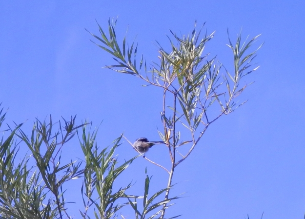 Poor shot of a long-tailed tit