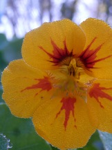 Nasturtiums Wilford Mencap Gardens