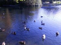 Armot Hill Park - ducks