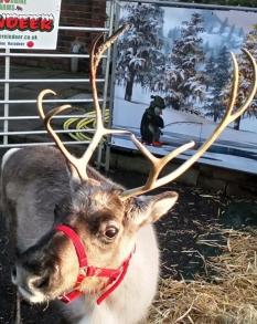 Reindeer at Woodthorpe Park