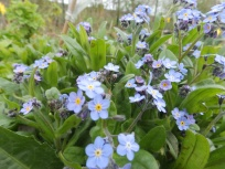 Forget-me-nots at Wilford