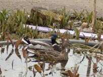 Ducks on the Mencap Pond