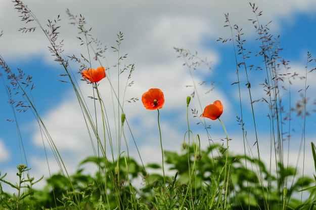 meadow flower poppy wild poppies
