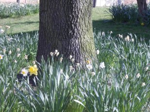 Daffodils are dying back