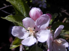Apple Blossom - Sherwood