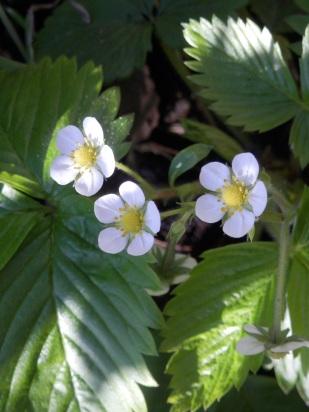 Alpine Strawberries - Sherwood