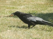 Crow with Scotch Egg