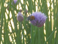 Bumblebee on Chive