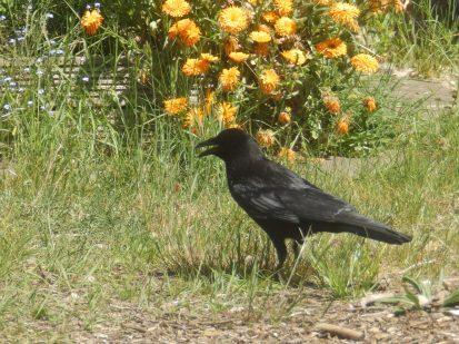 Crow again