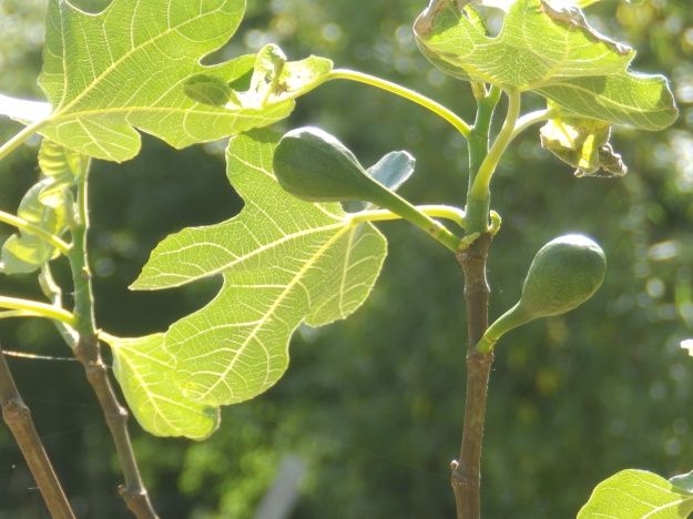 Figs at Wilford Mencap Garden