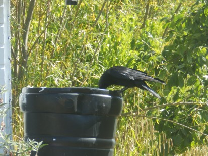 Crow drinking from water butt at Wilford