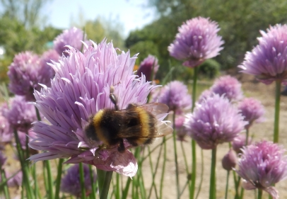 Bee on Chives - Wilford
