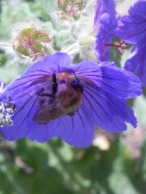 Bee in Cranesbill