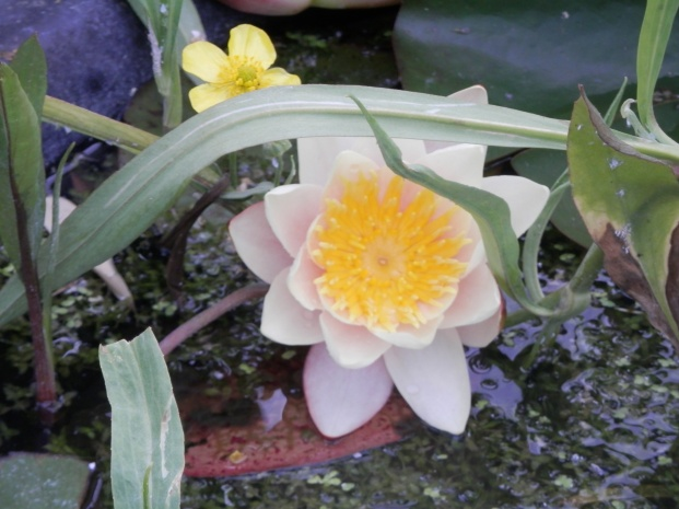 Waterlilly again