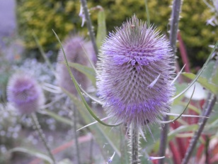 Teasel in the garden