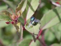 Fly on a Fuchsia