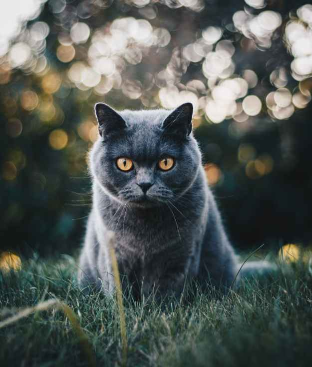 selective focus photo of grey cat
